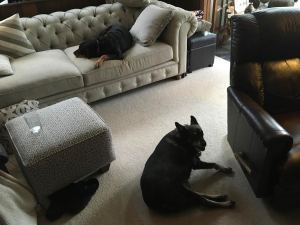 два собакы